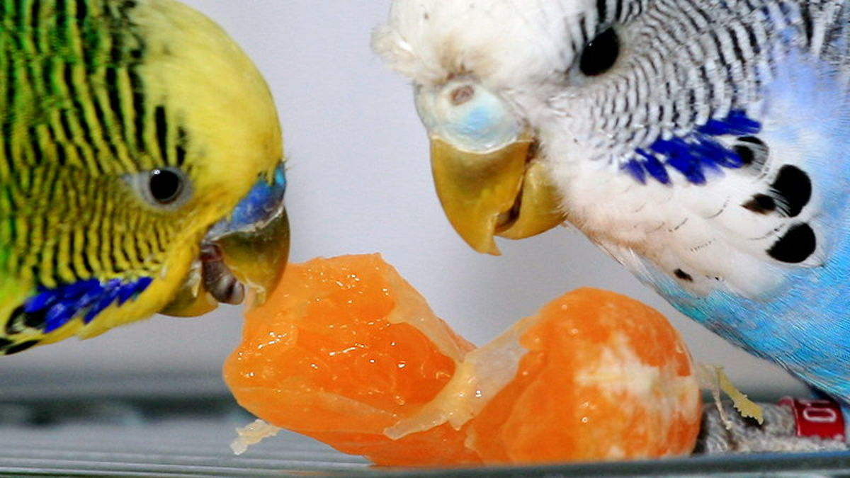 Two budgies enjoying a slice of tangerine