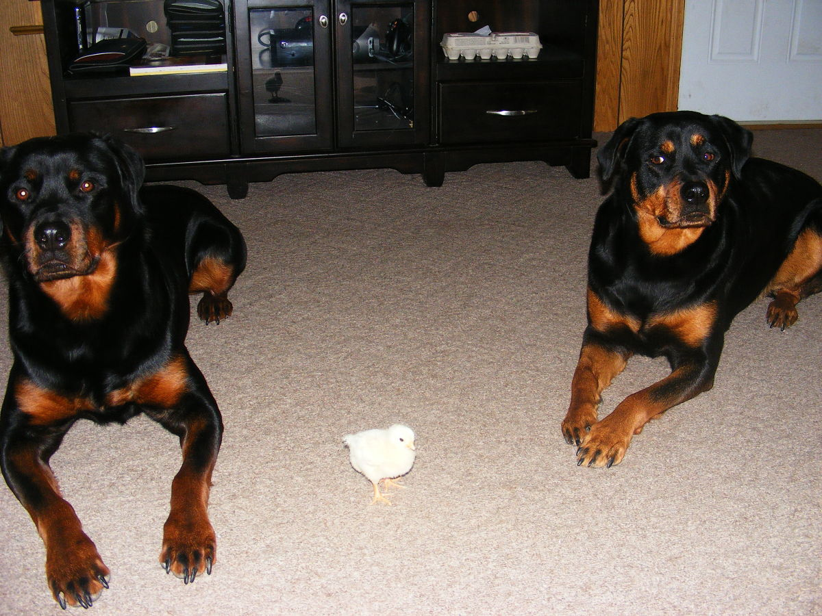 My Rottweilers love being around chicks and chicken!
