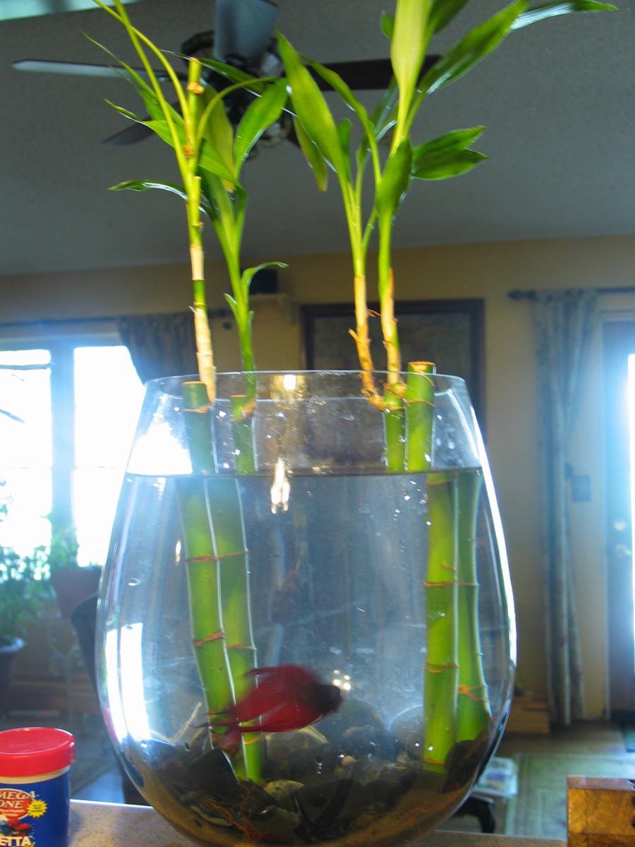 Beta or Betta Fish and Bamboo Living Together