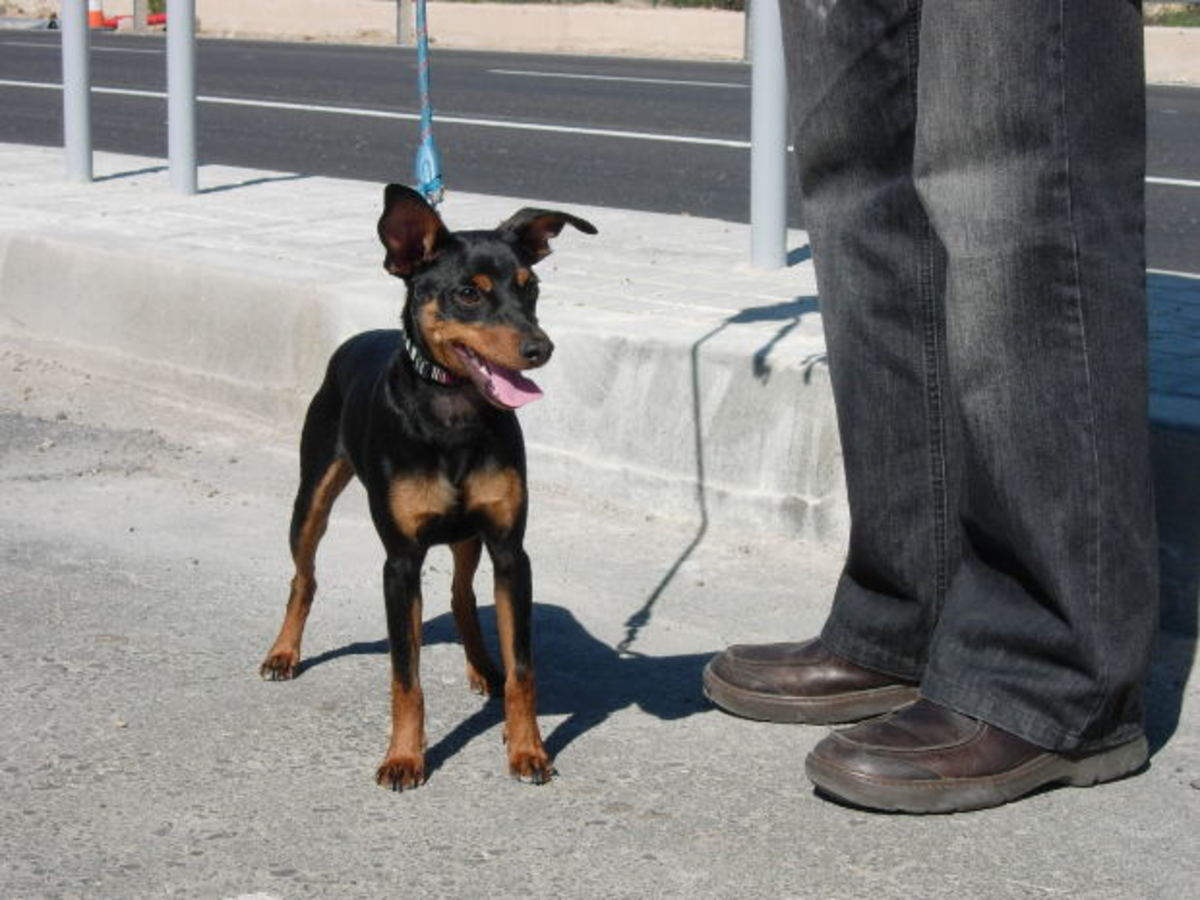 miniature-pinscher-facts-and-information