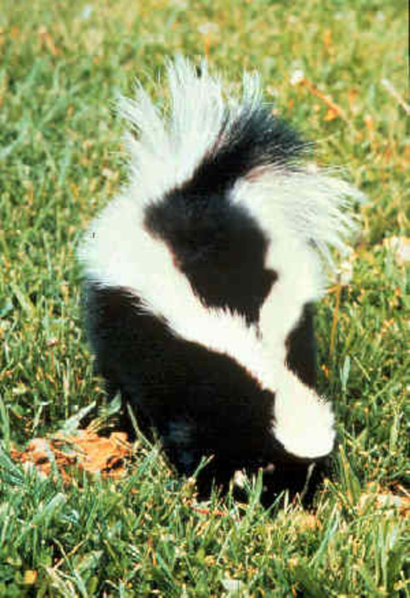 how to get rid of dog skunk breath
