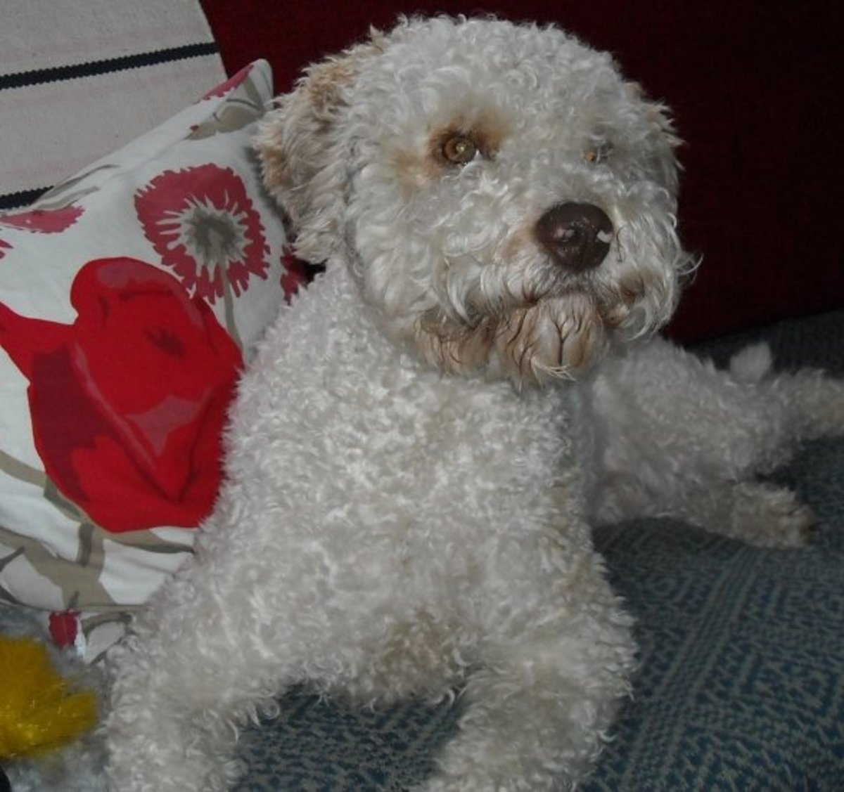 living-with-a-lagotto-romagnolo