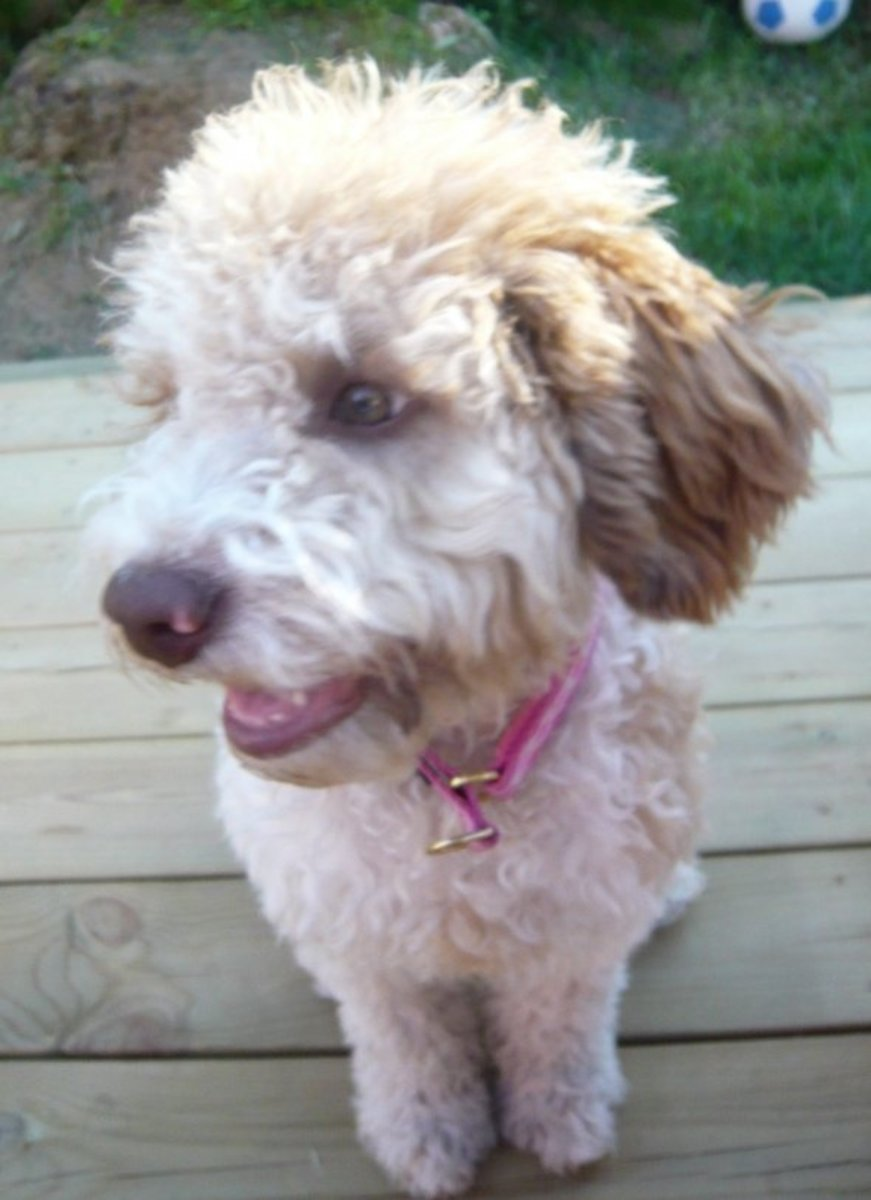 Living with a Lagotto Romagnolo, The Fluffy Hypoallergenic Dog Breed!