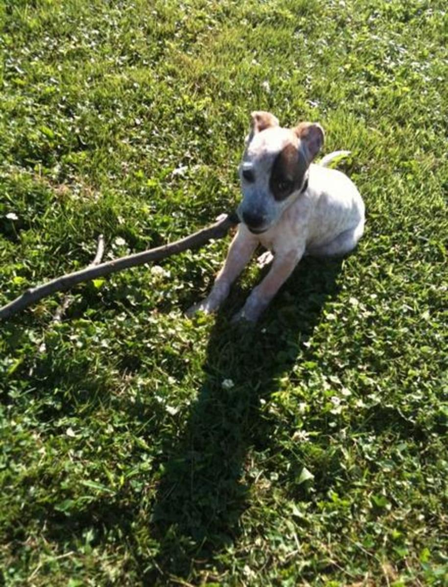 15 week old Spudward chewing on a stick he found in the yard.