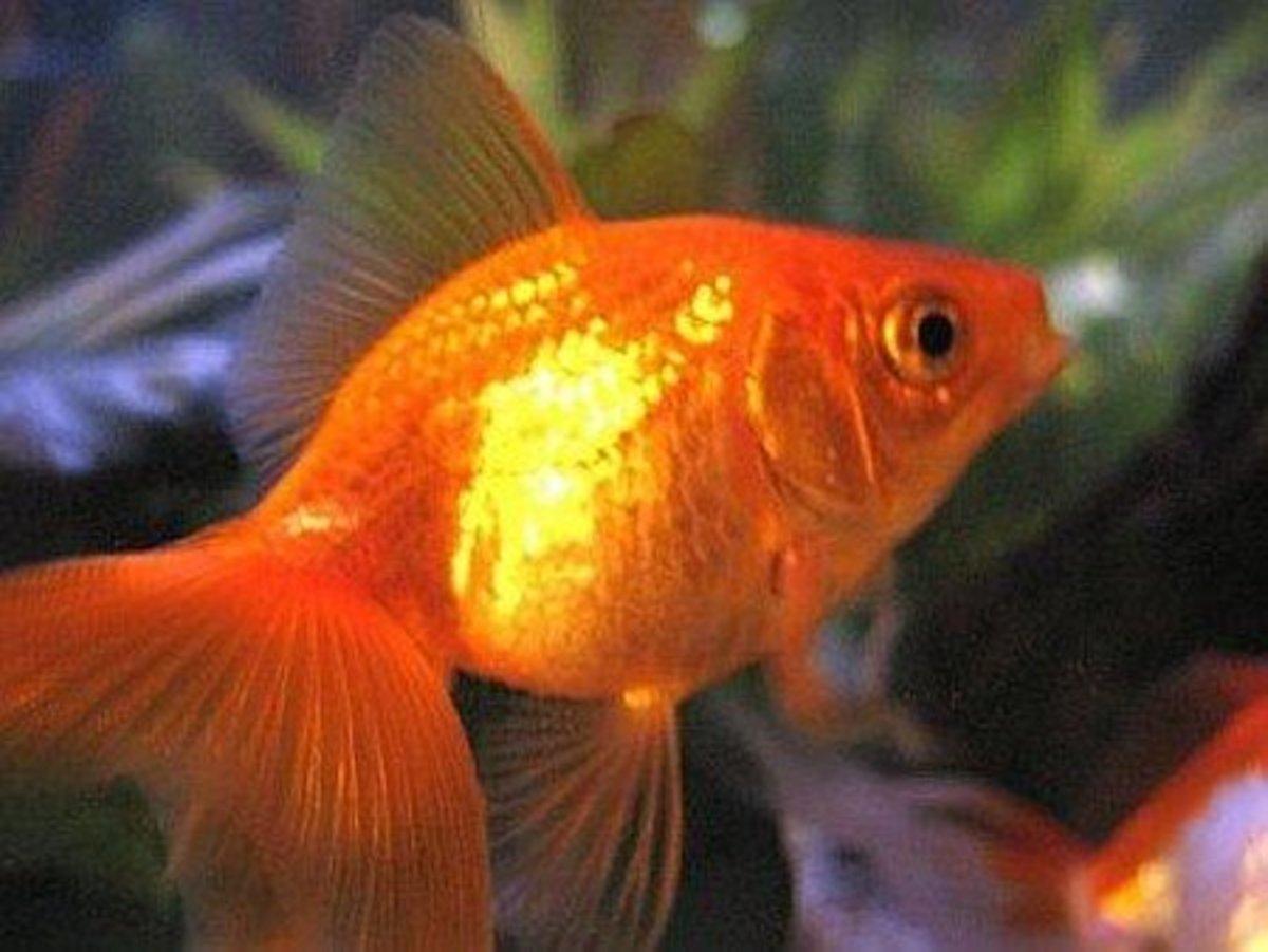 Common goldfish.