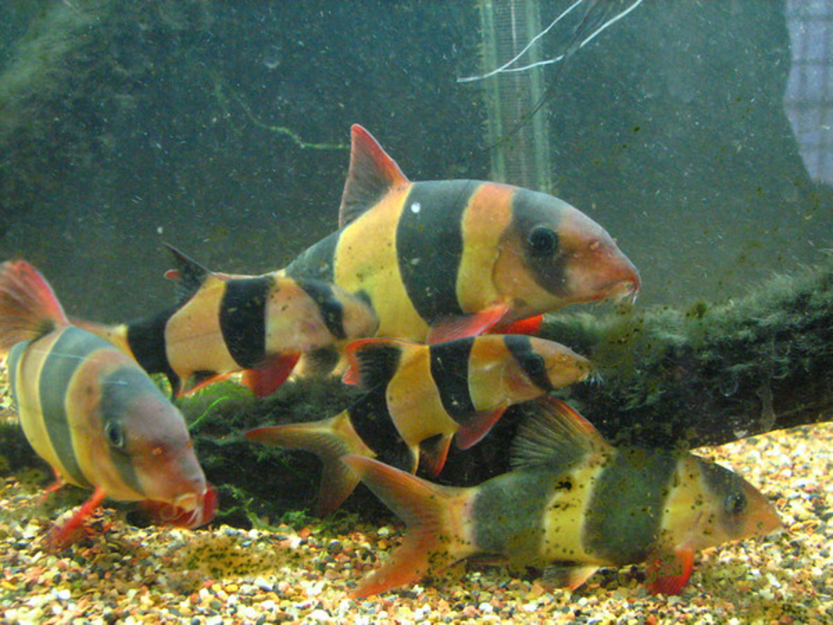 Group of Clown Loaches, most not yet full grown.