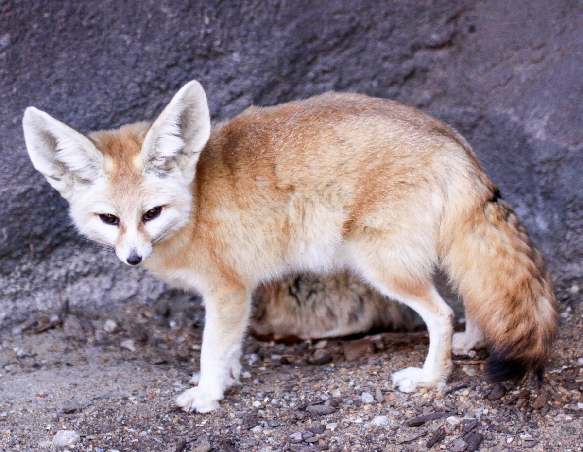 A fennec fox at the Norfolk Zoo