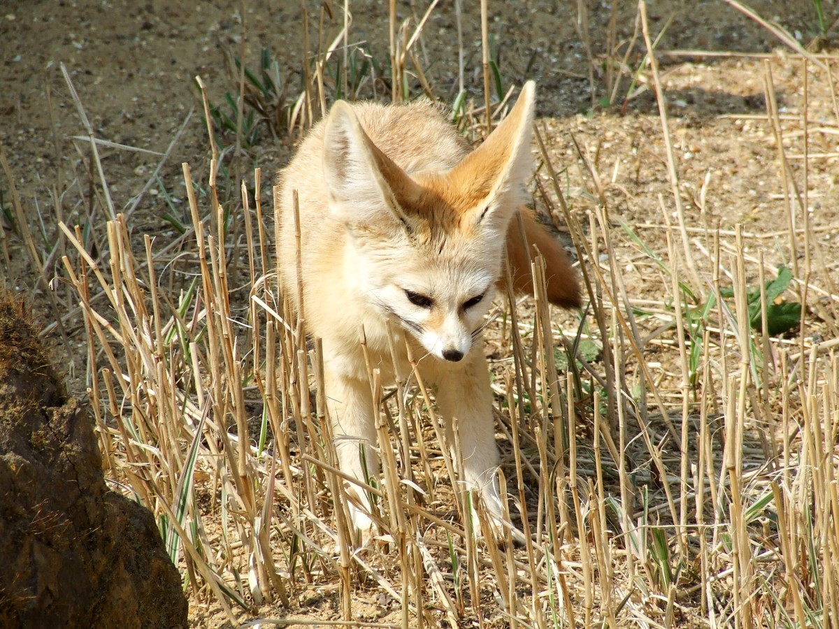 A fennec fox at a wildlife park/zoo in the UK called Africa Alive!