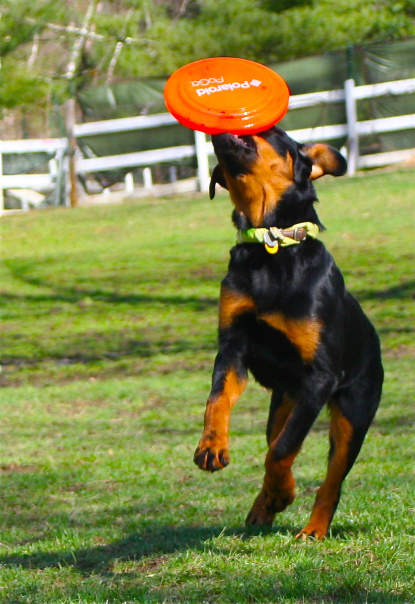 Playing fetch with your dog helps getting their energy out. This, in return, creates a better behaved dog.