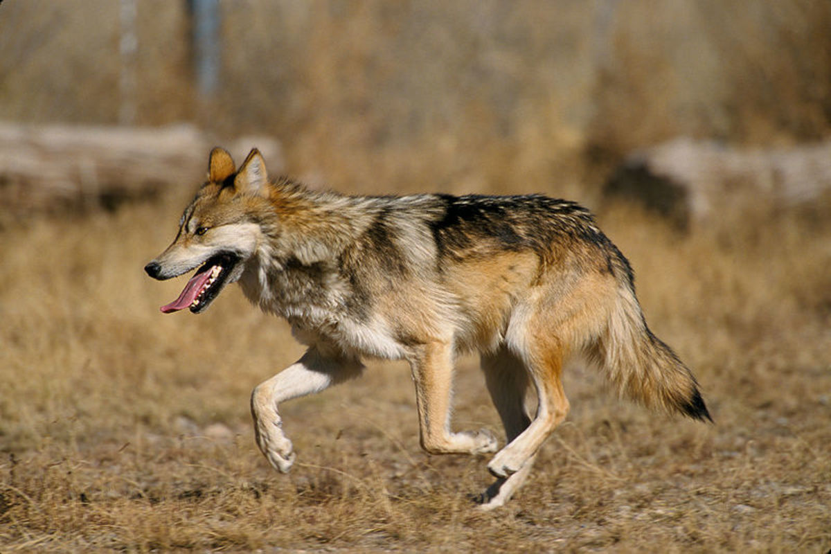 Before you claim that wolves are den animals, and conclude that dogs should enjoy crates simply because they are related to wolves, learn the facts.