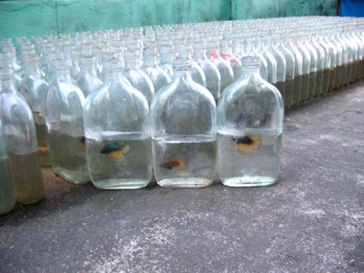 Bettas Kept In Bottles Temporarily