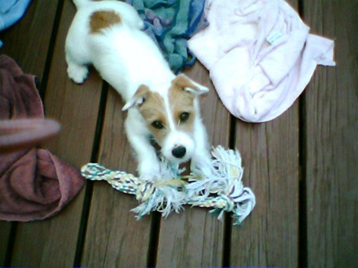 Facts About Jacks All About Jack Russell Terriers PetHelpful - 15 dogs werent expecting come back home early