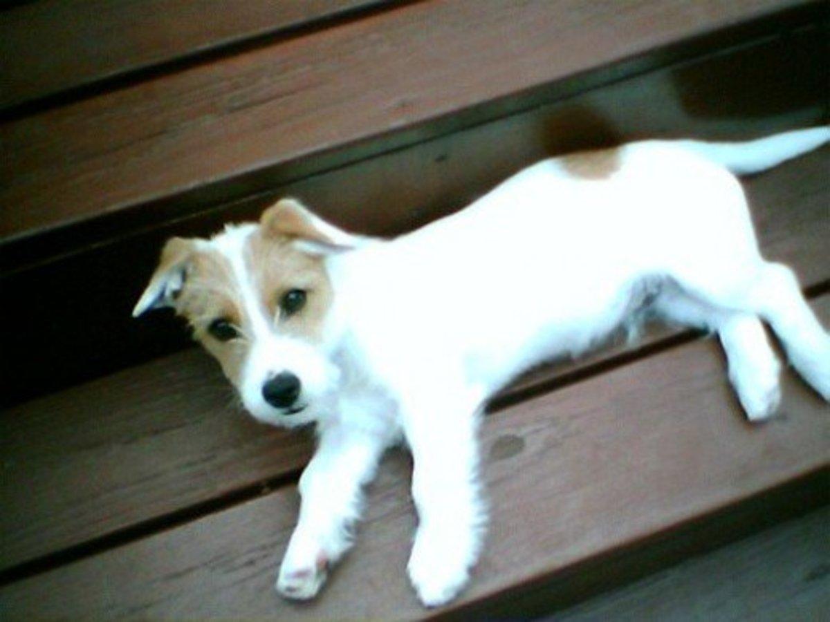 Tan Stuffed Dog Brown Ears Brown Eye Spots