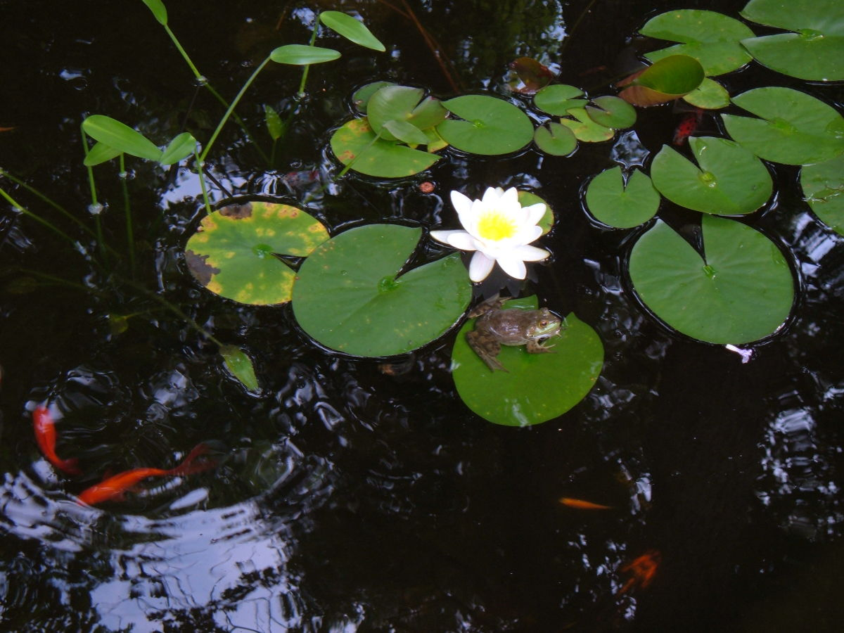 Frogs and dragonflies are welcome visitors during the warmer months