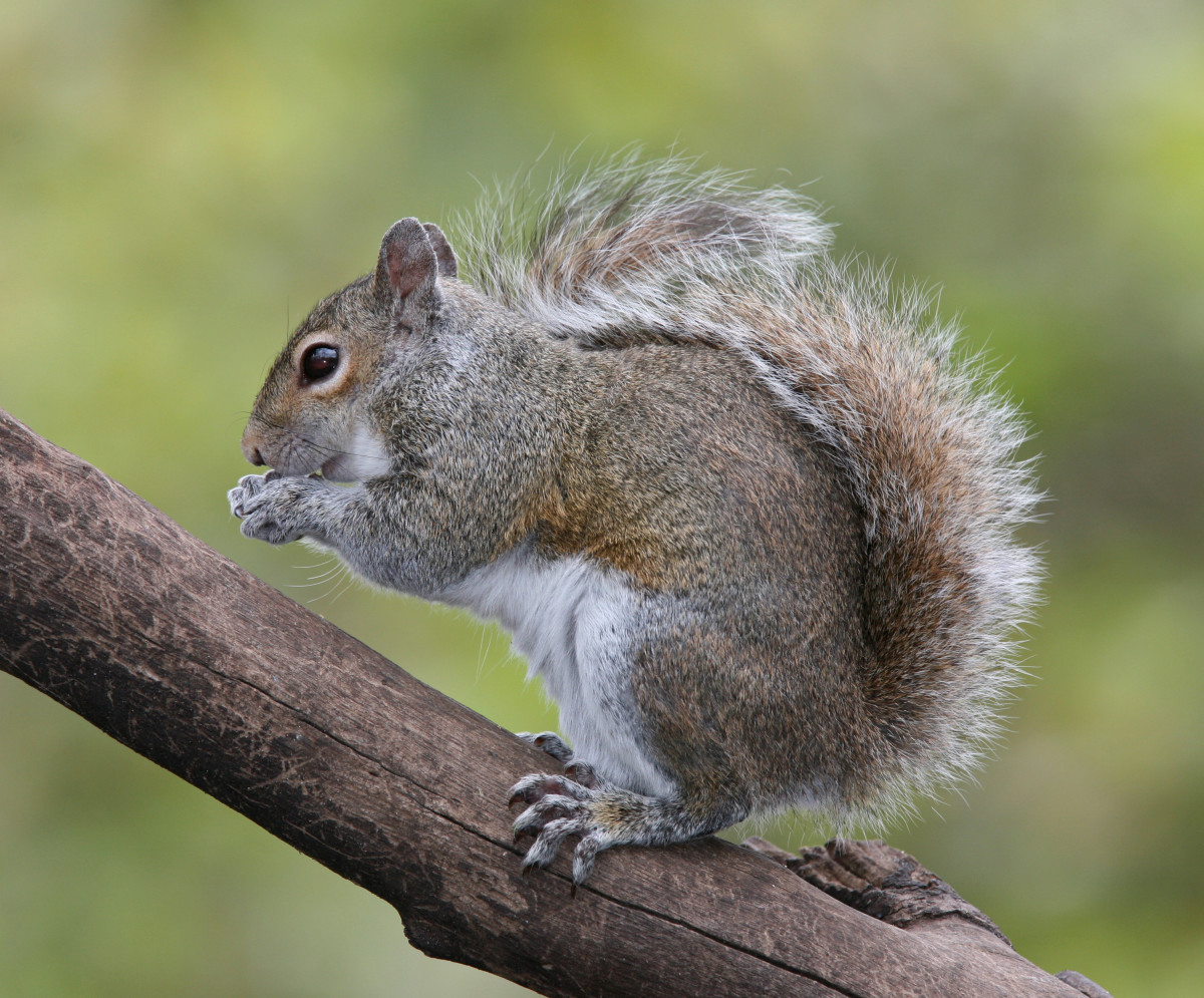 Squirrels love to raid bird feeders