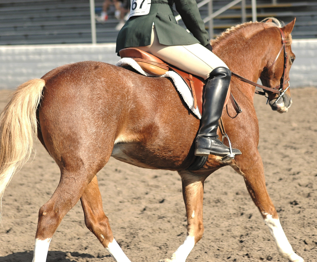 The Welsh pony is often an excellent mount for children.