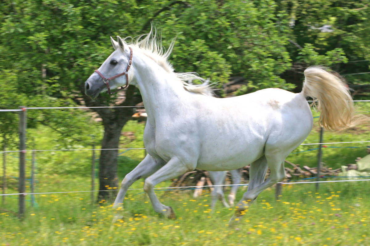 The Proto-Indo-Europeans domesticated several animals, including the horse.