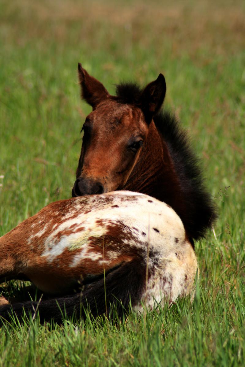 Appy foal