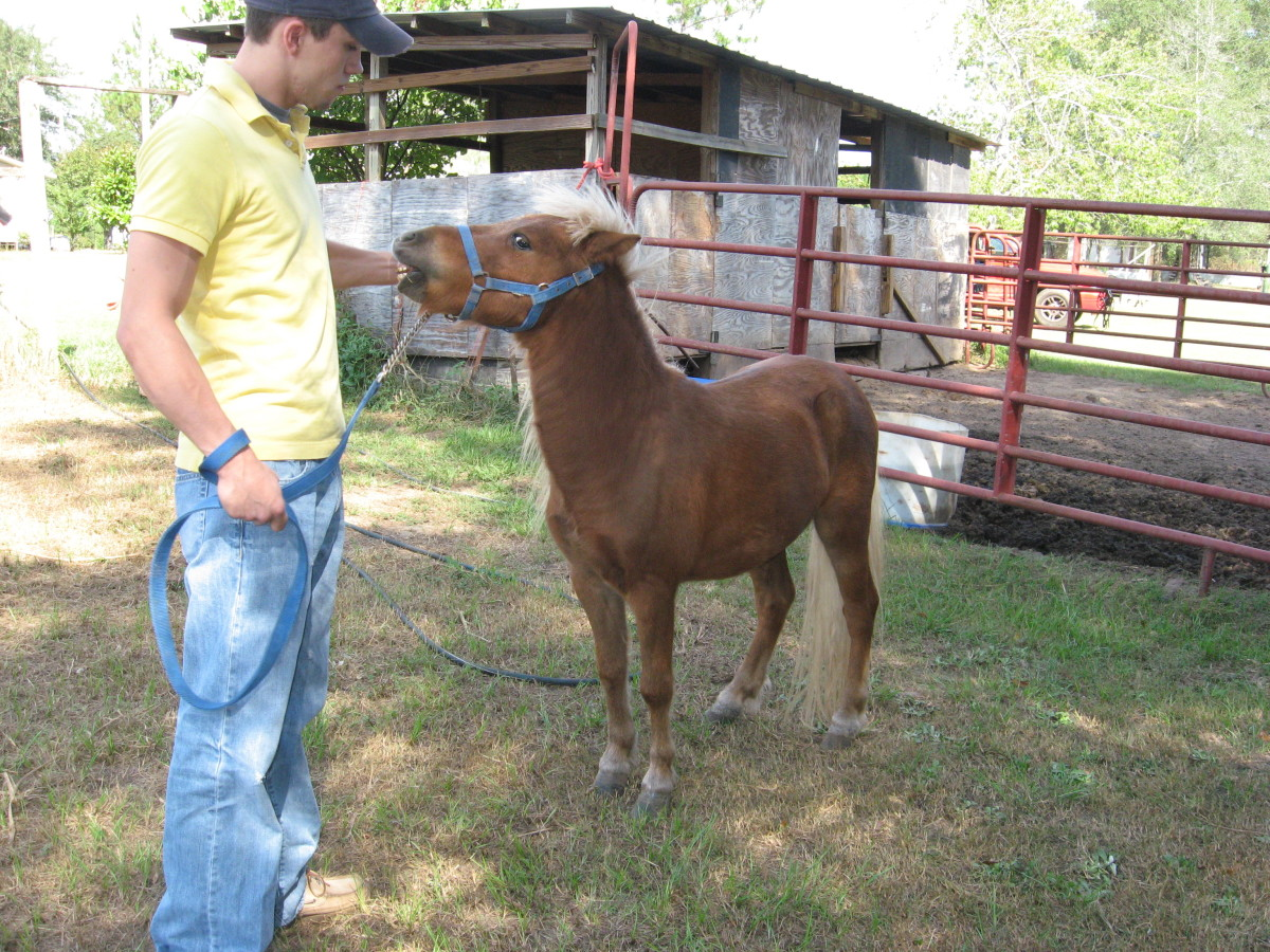 Miniature Horse vs. Pony: What's the Difference?Full Grown Mini Horse