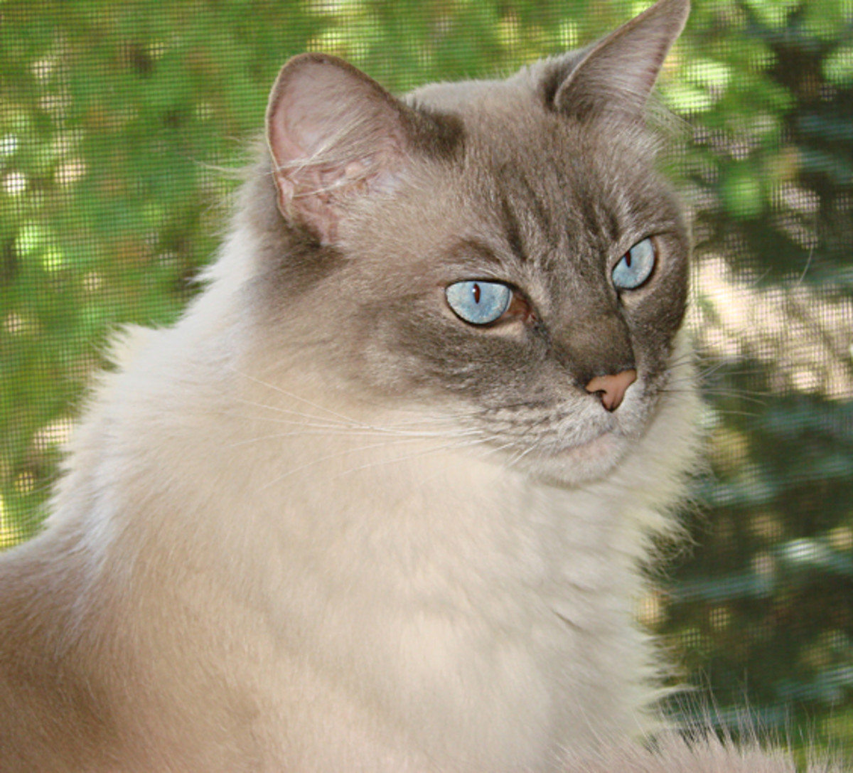 Bennie is one of my ragdoll cats.
