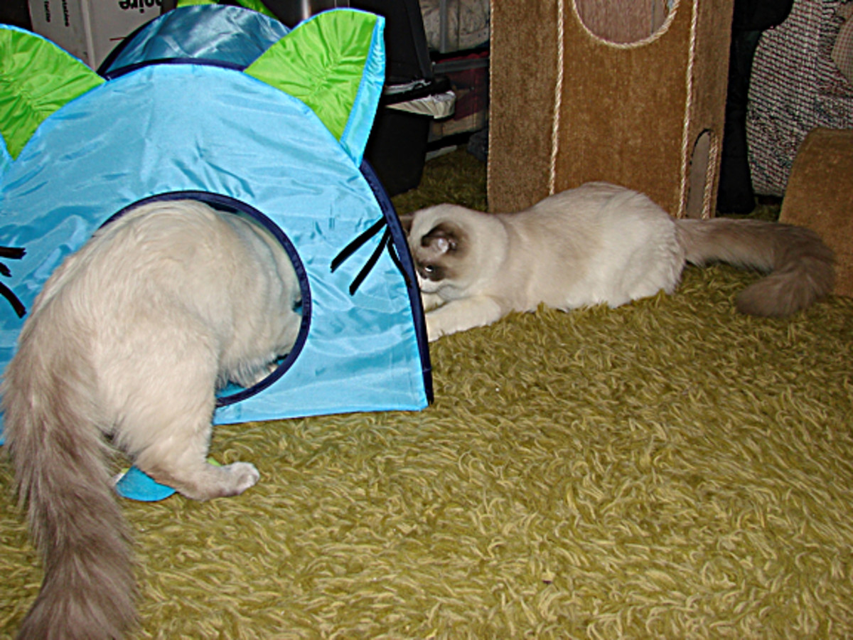 The cats playing with each other, with one cat on each side of the tent wall