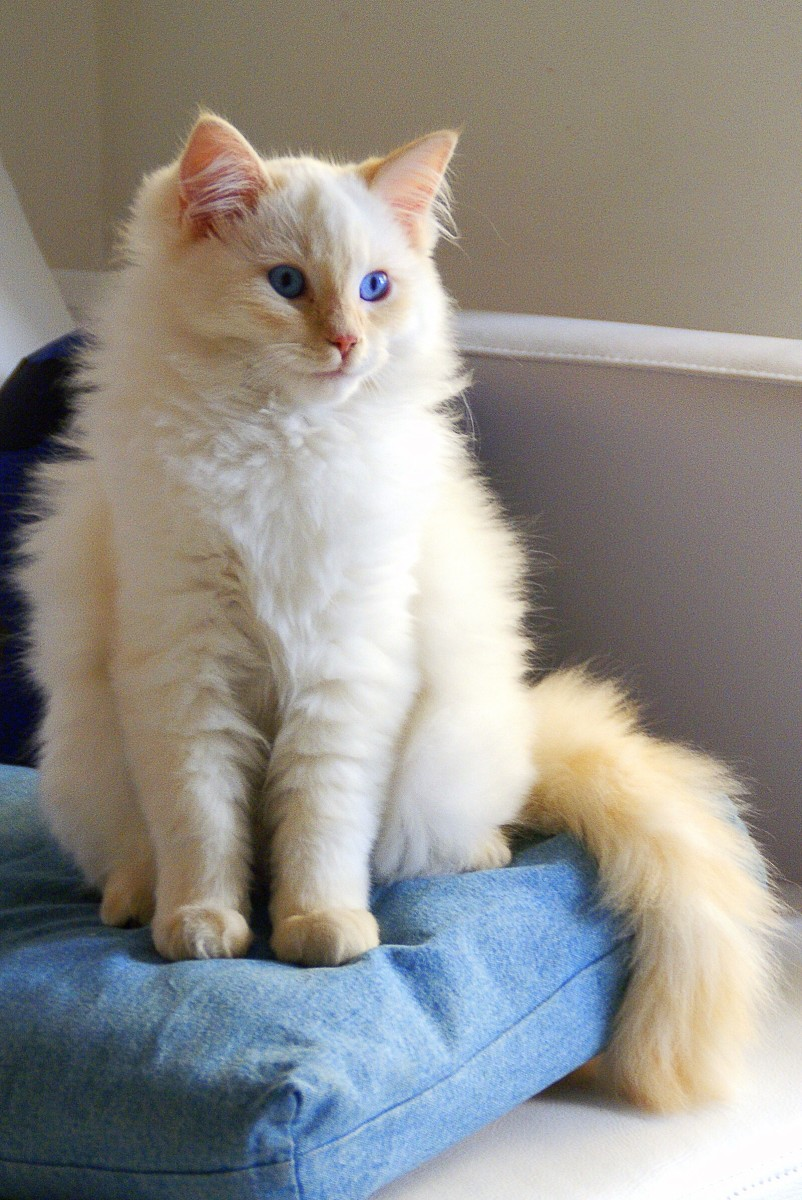A flame point Ragdoll