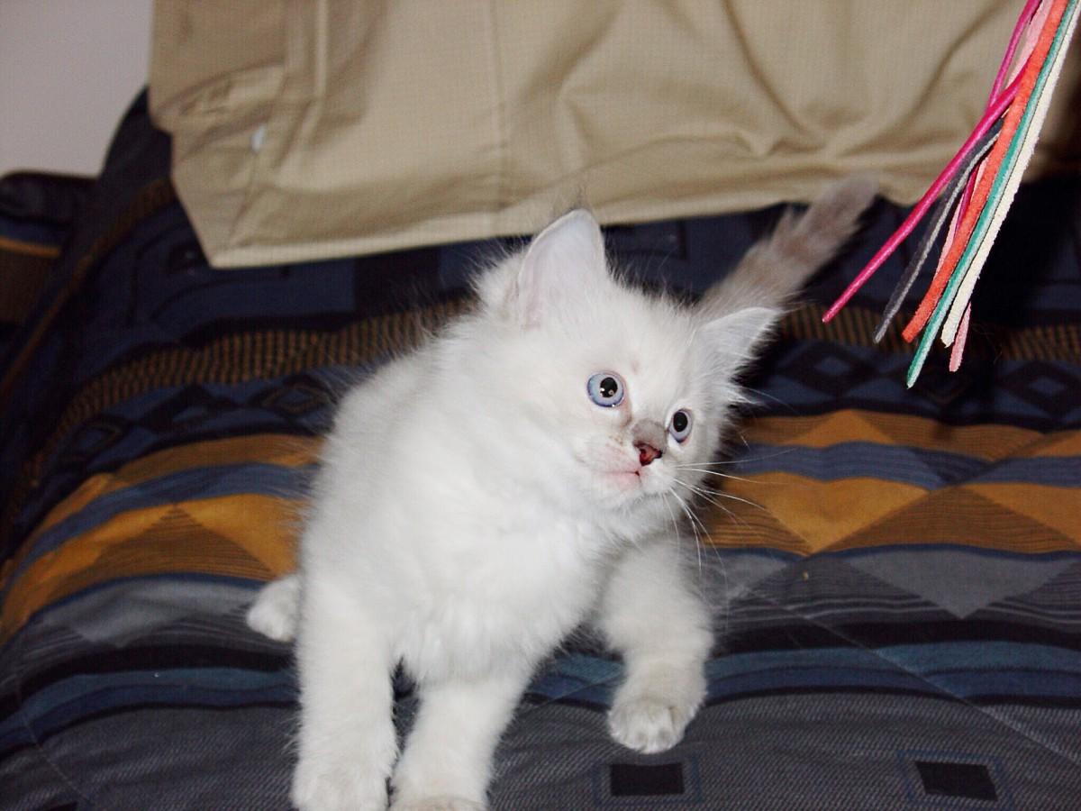 A very young ragdoll kitten