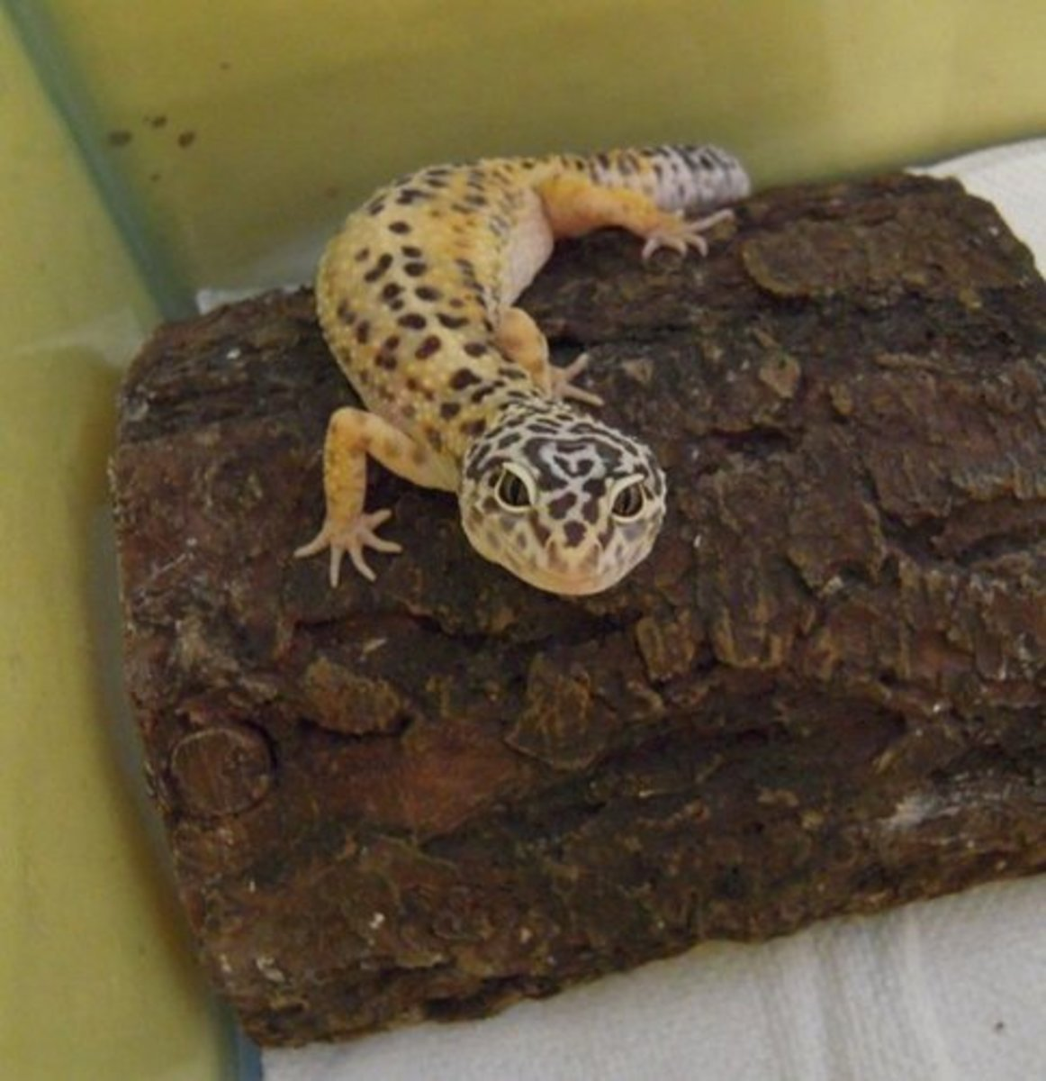 Leopard Geckos can do very well in plastic tub housing if assembled properly.