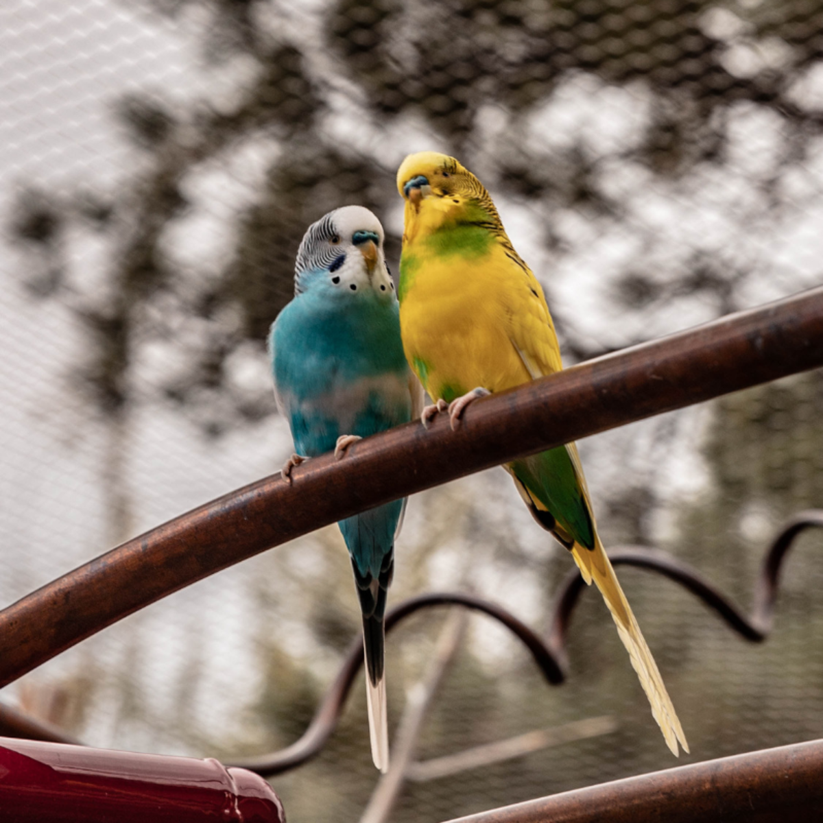 Whenever you give your budgie a new food, watch for signs of distress that could indicate an adverse reaction.