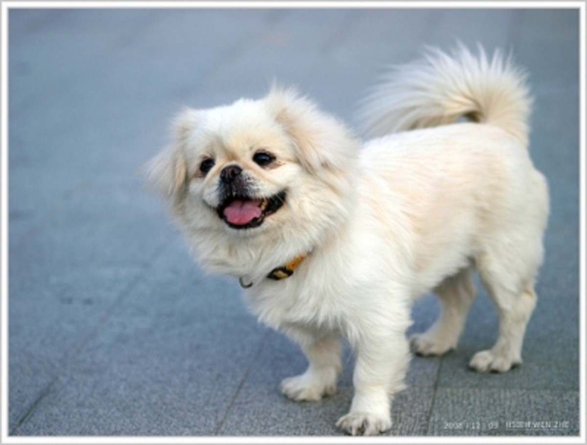 The Canine Roommate Top 10 Best Dog Breeds For Apartment Living