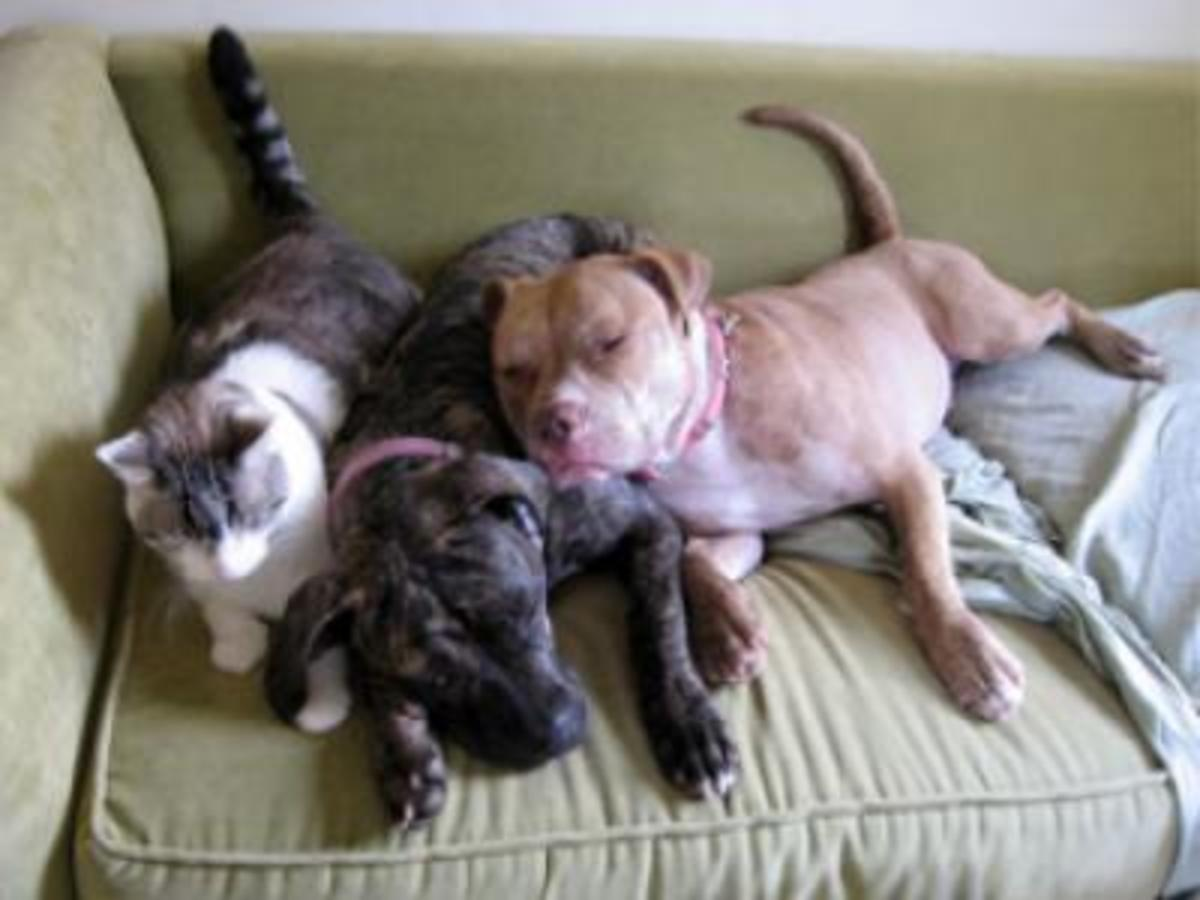 Two pit bulls and a cat sharing a couch
