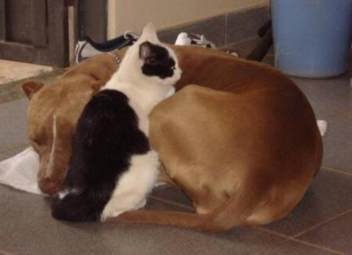 A cat and a pit bull resting together