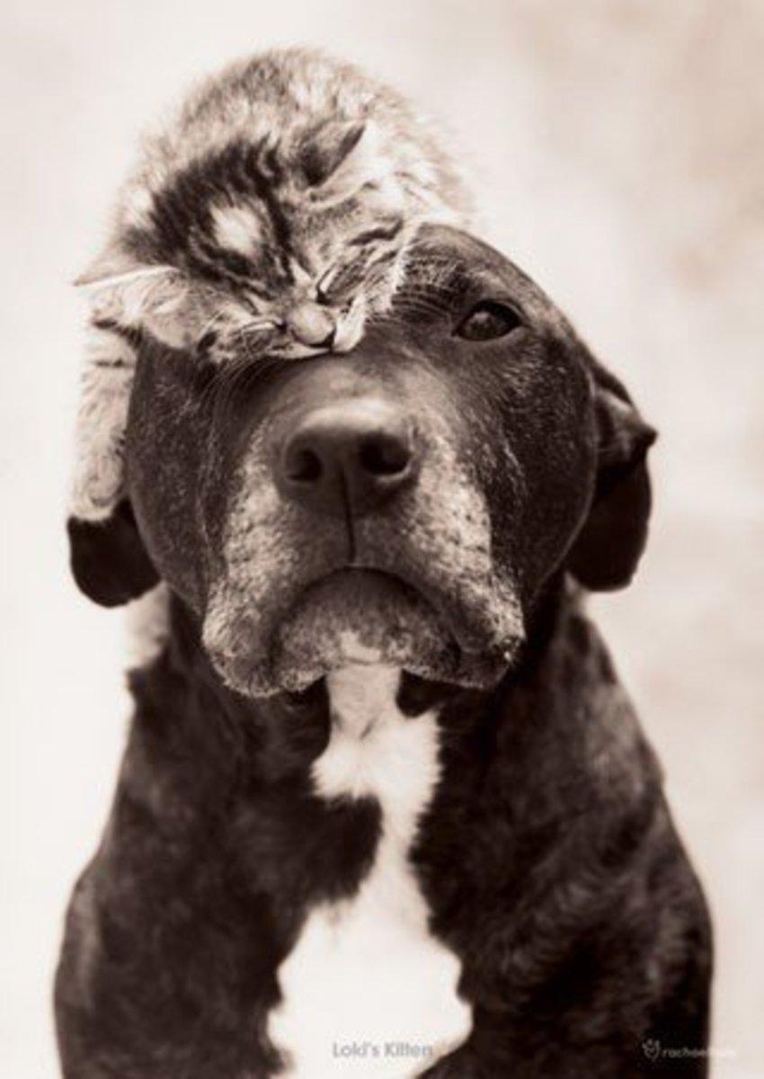 A pit bull wearing a sleepy kitten as a hat