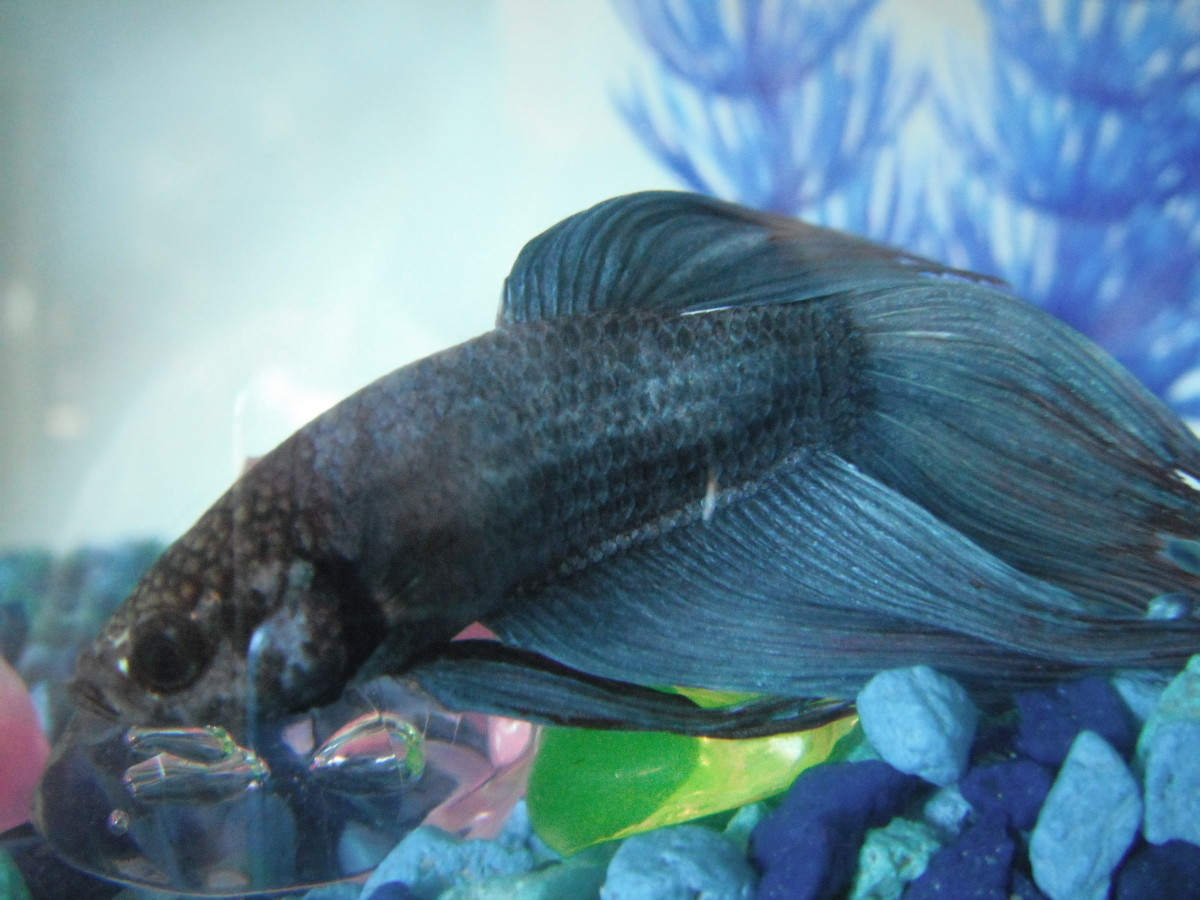 Betta fish in bowls just say no pethelpful for Betta fish fungal infection