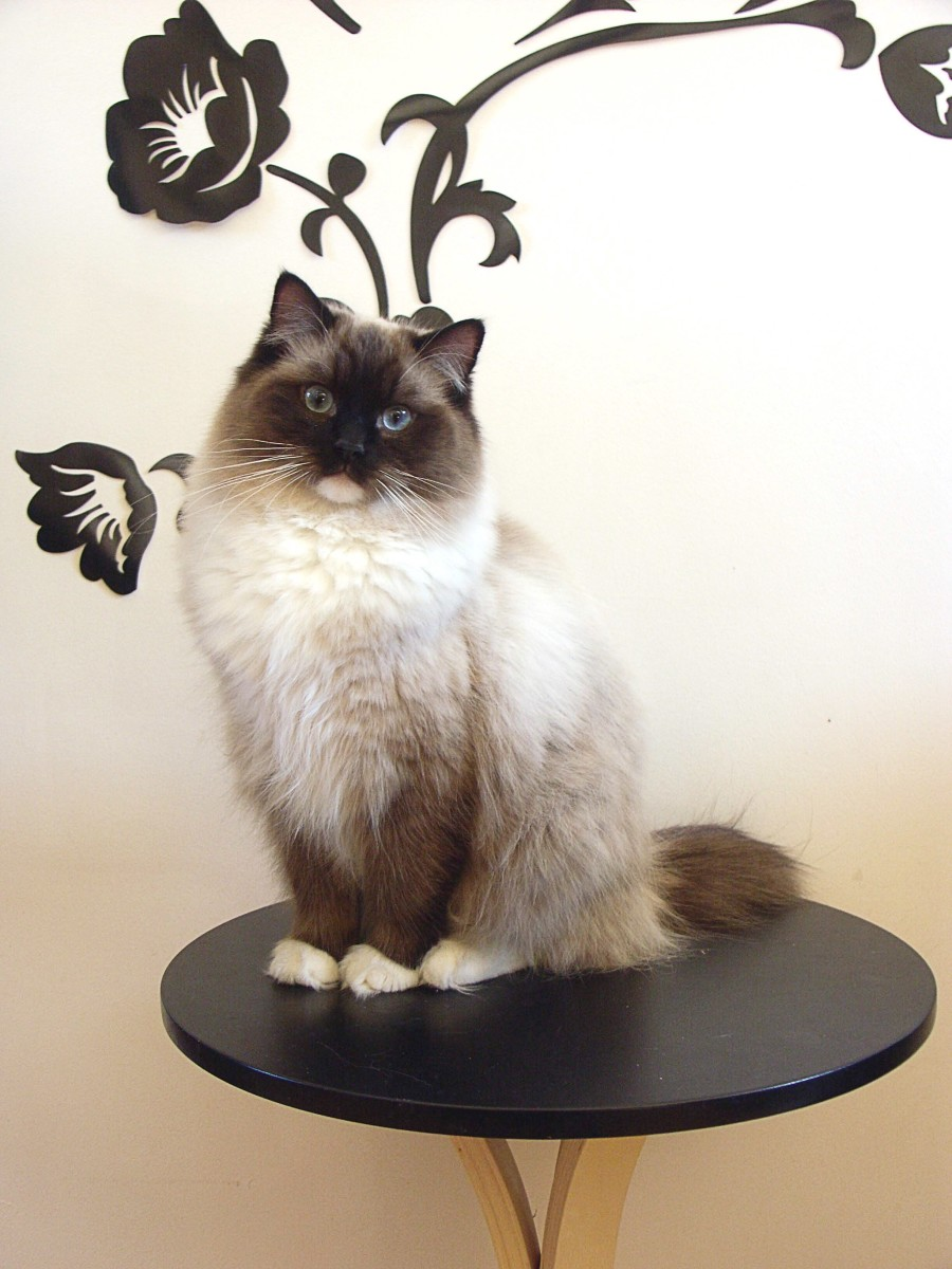 A seal mitted Ragdoll