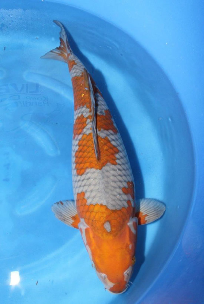 Koi carp the most expensive koi fish ever sold pethelpful for Rare koi fish