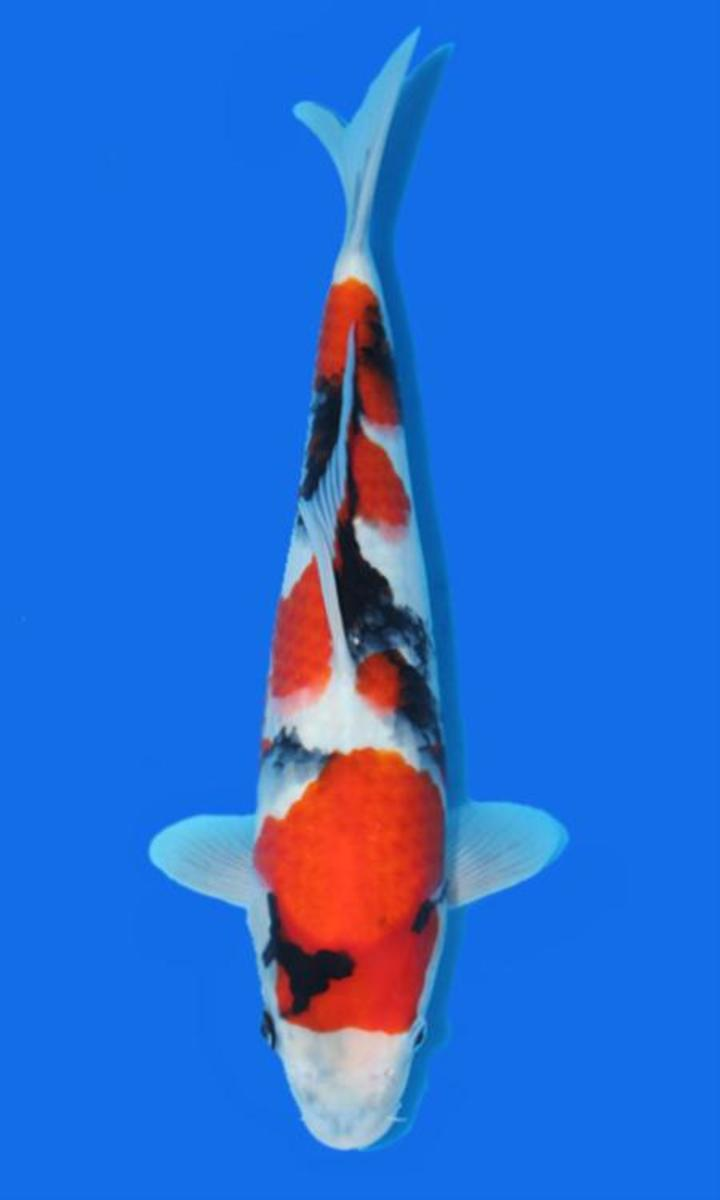 Koi carp the most expensive koi fish ever sold pethelpful for Expensive koi fish