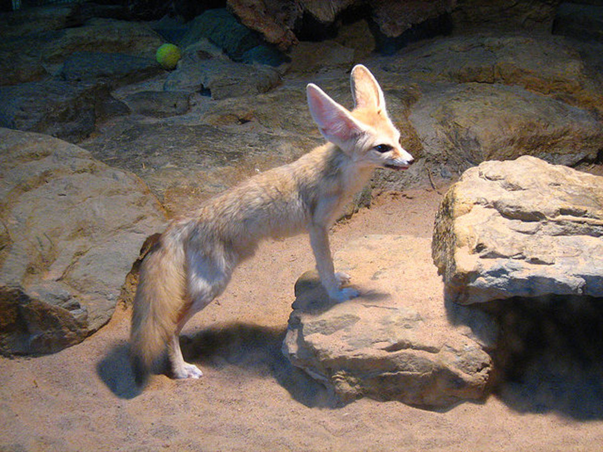 Fennec fox in replica of its natural habitat: Wilhema Zoo, Germany
