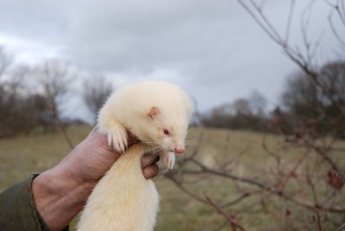 Ferrets are great pets and one of the best exotic animal to own for children.