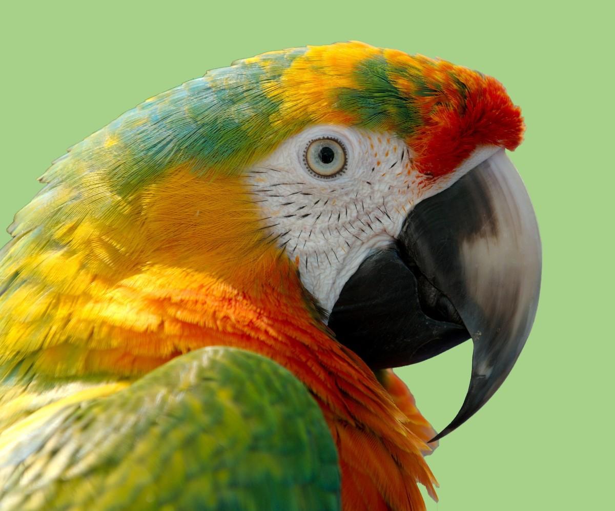 Macaws make magnificent pets!