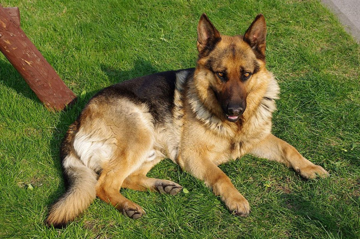 German Shepherds are at higher risk for pyoderma than some other breeds.