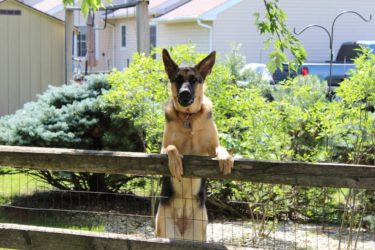 German shepherds can be predisposed for developing pyoderma.