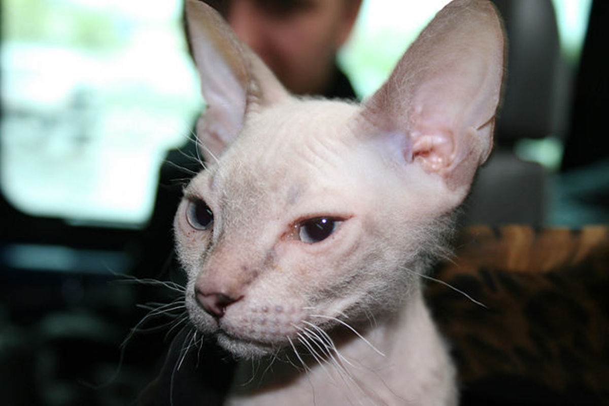 The Donskoy is also known as the Russian Hairless. It is often mistakenly considered to be related to the Canadian Sphynx, but it is not. Although hairless, the breed is actually classified as a shorthaired cat.