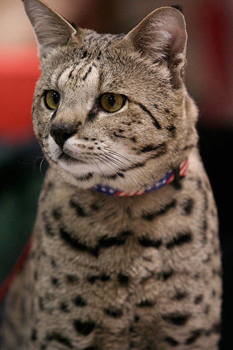 Savannah cats are long-lived (about 15 years on average) but extremely dominant animals. If you own other cats, you may want to consider a different breed of exotic cats as Savannahs do best in households with dogs rather than cats.
