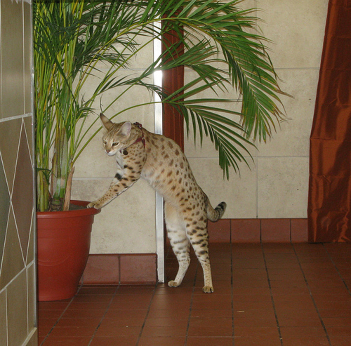 According the Guinness Book of World Records, the holder of the title World's Tallest Domestic Cat is Scarlett's Magic, who stands just over 18 inches and is owned by Lee and Kimberly Draper.  NOTE: This is a random image, not Scarlett's Magic.