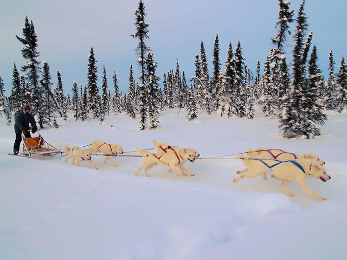 White Huskys Pulling Dog Sled