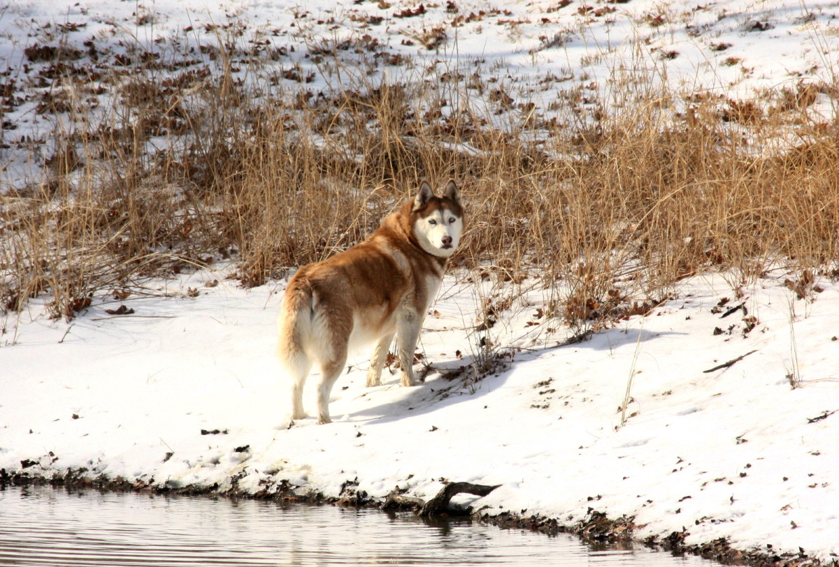 Siberian Husky at a snowy pond.