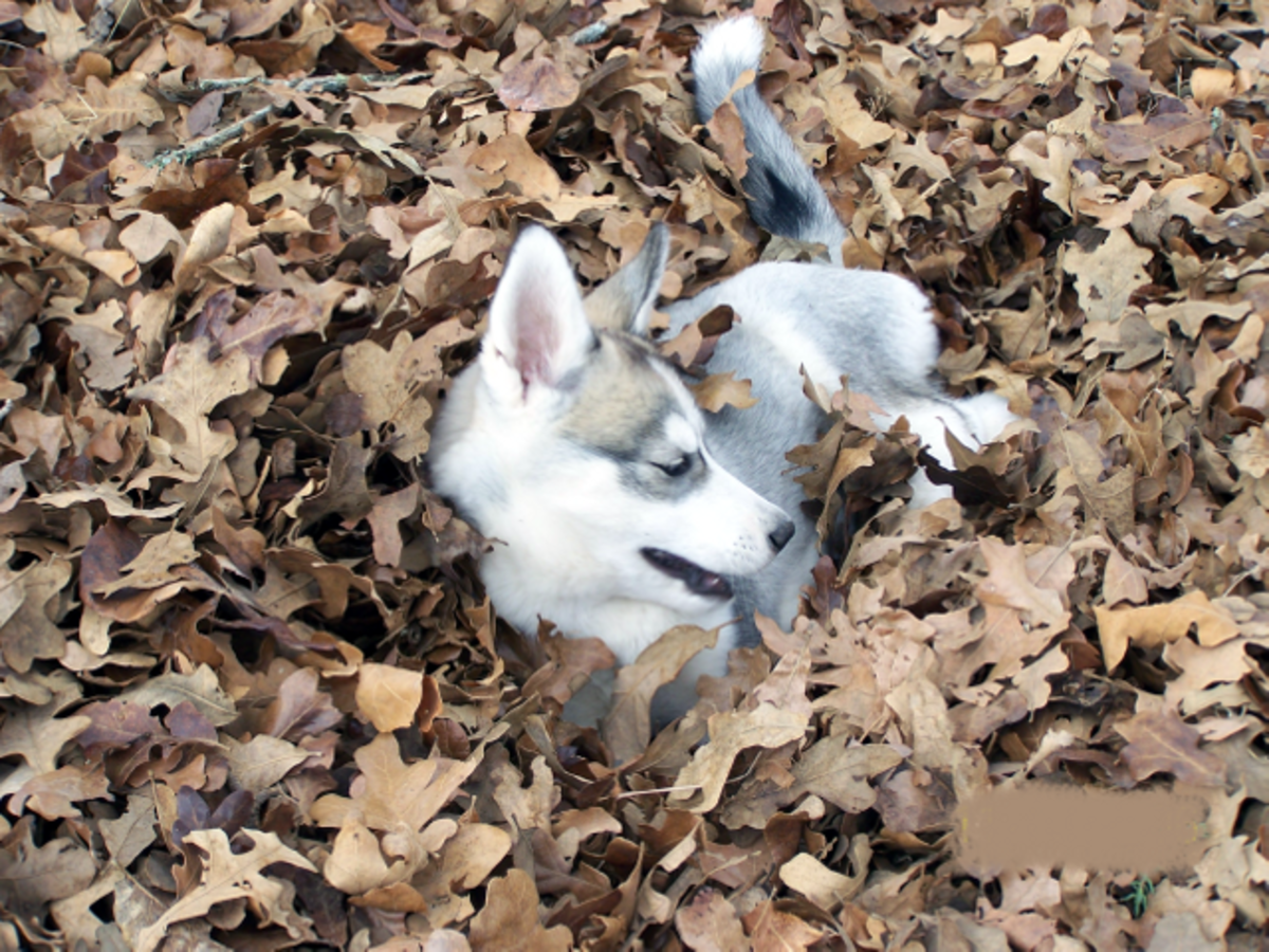 Siberian Husky Puppy Playing in Fall Leaves
