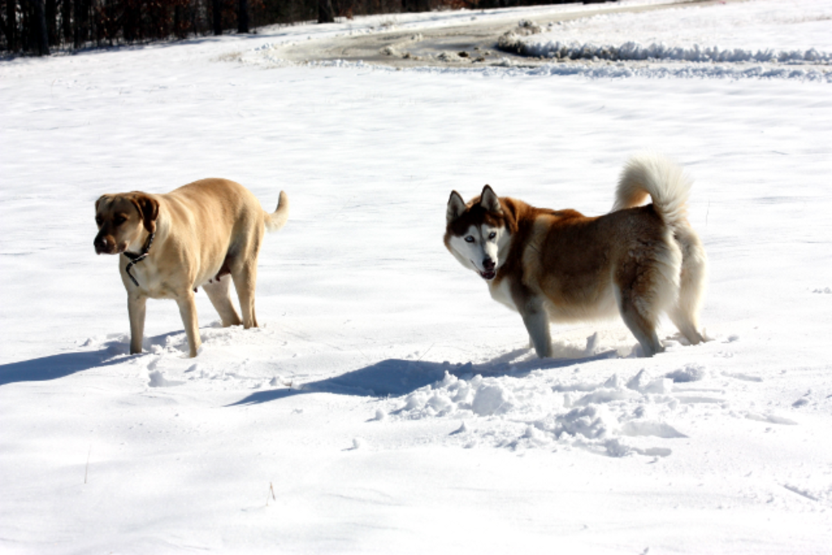 Our Siberian Husky and Yellow Lab