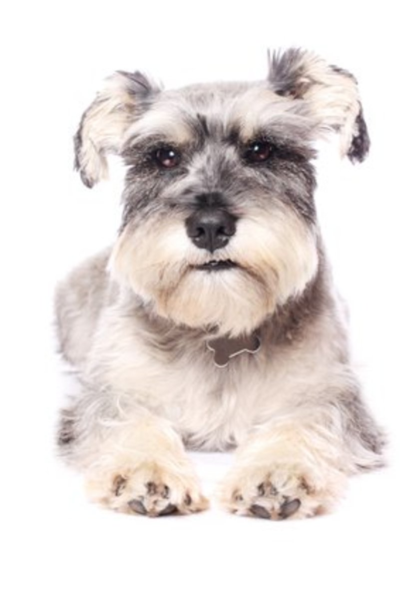 There are three sizes of schnauzers.